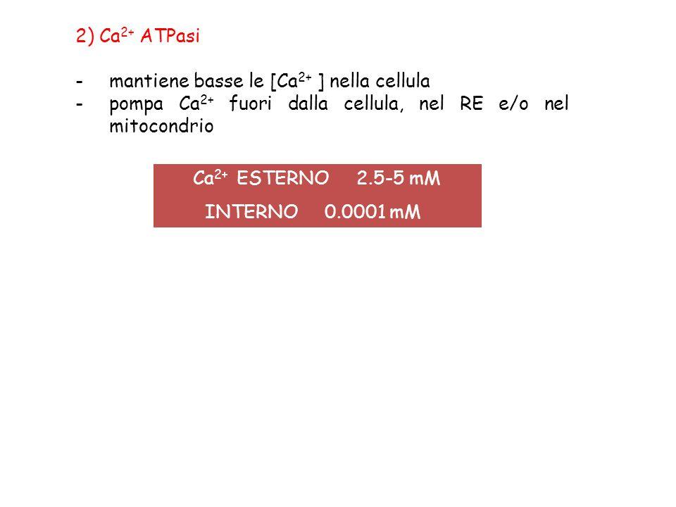 2) Ca 2+ ATPasi -mantiene basse le [Ca 2+ ] nella cellula -pompa Ca 2+ fuori dalla cellula, nel RE e/o nel mitocondrio Ca 2+ ESTERNO 2.5-5 mM INTERNO