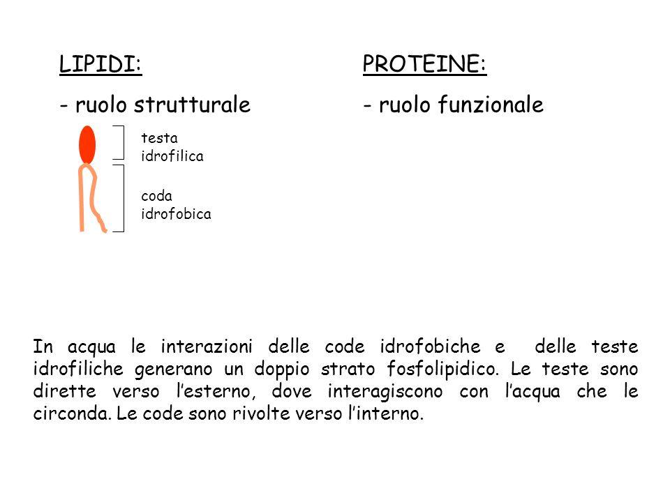 LIPIDI: - ruolo strutturale PROTEINE: - ruolo funzionale testa idrofilica coda idrofobica In acqua le interazioni delle code idrofobiche e delle teste