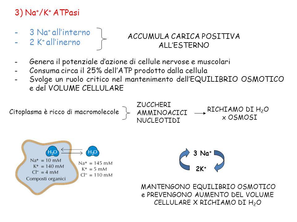 3) Na + /K + ATPasi -3 Na + allinterno -2 K + allinerno -Genera il potenziale dazione di cellule nervose e muscolari -Consuma circa il 25% dellATP pro