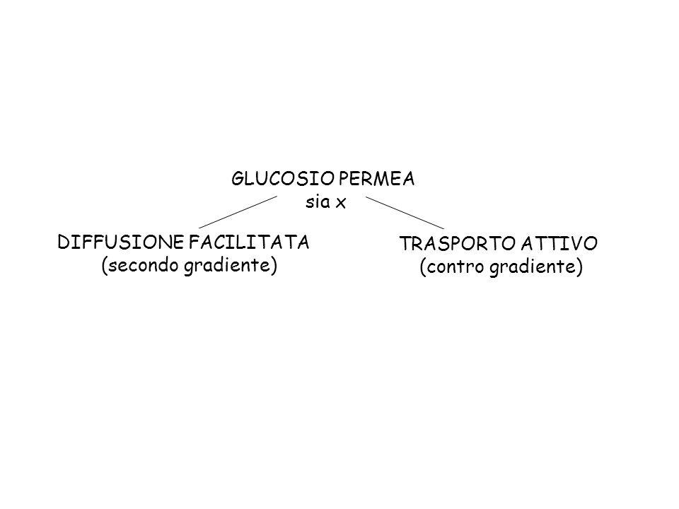 GLUCOSIO PERMEA sia x DIFFUSIONE FACILITATA (secondo gradiente) TRASPORTO ATTIVO (contro gradiente)