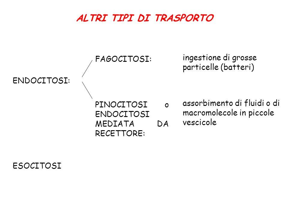 ALTRI TIPI DI TRASPORTO ENDOCITOSI: FAGOCITOSI: ingestione di grosse particelle (batteri) PINOCITOSI o ENDOCITOSI MEDIATA DA RECETTORE: assorbimento d