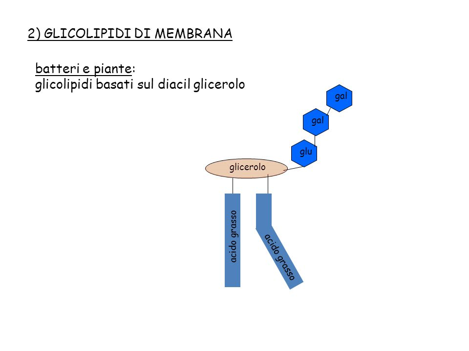 animali: SFINGOLIPIDI, costituiti da un alcool a lunga catena denominato SFINGOSINA acido grasso serina SFINGOSINA fosfato serina colina SFINGOMIELINA serina glu GLICOSFINGOLIPIDI - particolarmente abbondanti nel sistema nervoso centrale nelle membrane dei neuroni - fanno legami fortissimi altamente ramificati tra loro, quindi servono a stabilizzare la struttura delle membrane - difetti nel loro metabolismo sono causa di malattia genetica con paralisi e ritardo mentale acido grasso