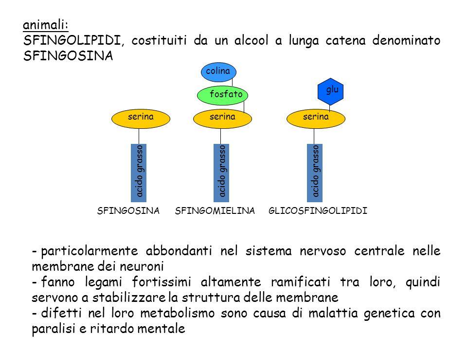 animali: SFINGOLIPIDI, costituiti da un alcool a lunga catena denominato SFINGOSINA acido grasso serina SFINGOSINA fosfato serina colina SFINGOMIELINA