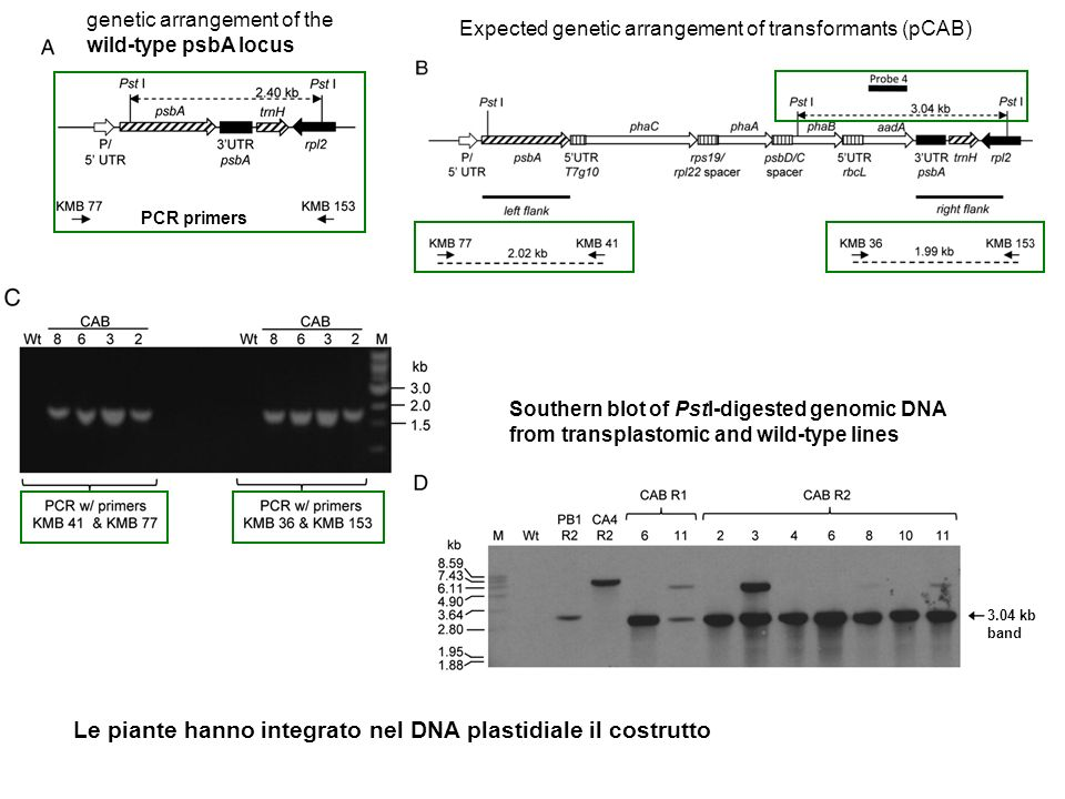 Expected genetic arrangement of transformants (pCAB) genetic arrangement of the wild-type psbA locus Southern blot of PstI-digested genomic DNA from t