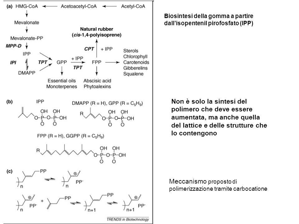 Non è solo la sintesi del polimero che deve essere aumentata, ma anche quella del lattice e delle strutture che lo contengono Biosintesi della gomma a