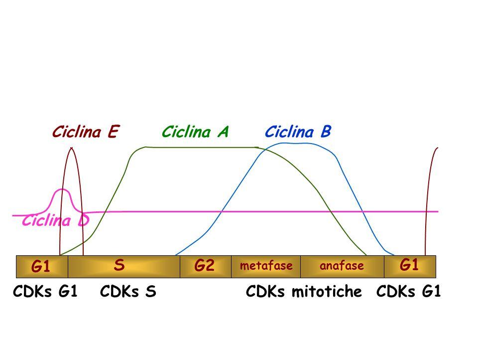 G1 S G2 metafaseanafase G1 CDKs G1 CDKs S CDKs mitotiche CDKs G1 Ciclina D Ciclina ACiclina BCiclina E