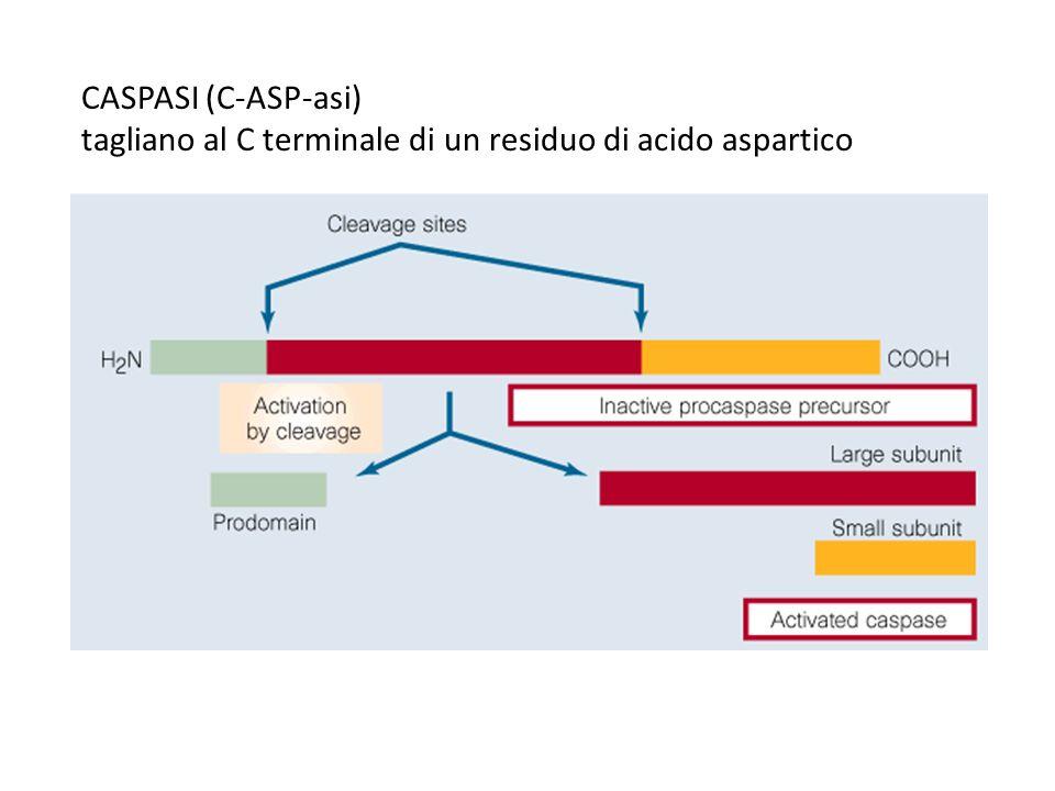 CASPASI (C-ASP-asi) tagliano al C terminale di un residuo di acido aspartico