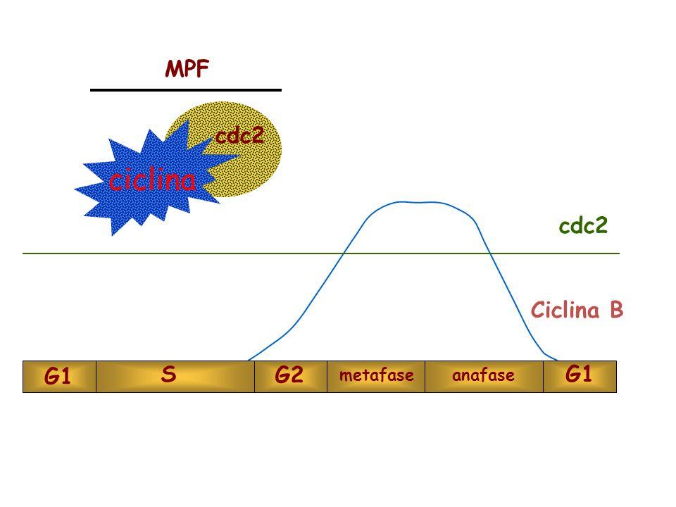 G1 S G2 metafaseanafase G1 ciclina cdc2 MPF cdc2 Ciclina B