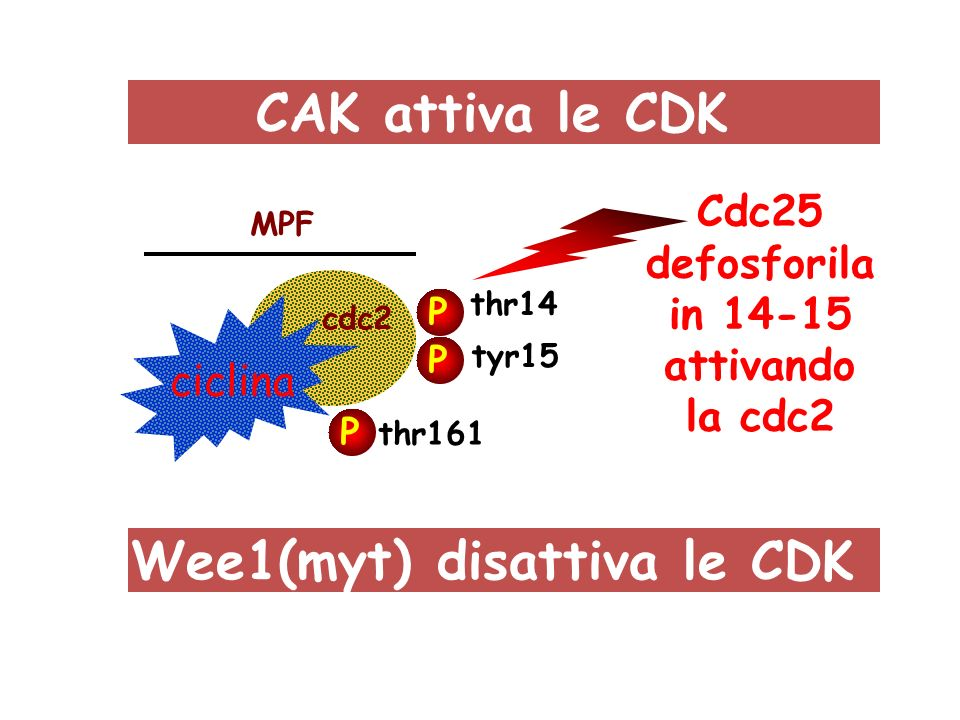 ciclina cdc2 MPF P P P tyr15 thr14 thr161 CAK attiva le CDK Wee1(myt) disattiva le CDK Cdc25 defosforila in 14-15 attivando la cdc2