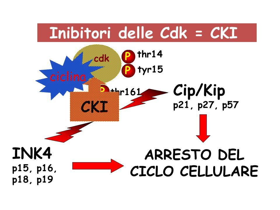 ciclina cdk P P P tyr15 thr14 thr161 Inibitori delle Cdk = CKI CKI Cip/Kip p21, p27, p57 INK4 p15, p16, p18, p19 ARRESTO DEL CICLO CELLULARE
