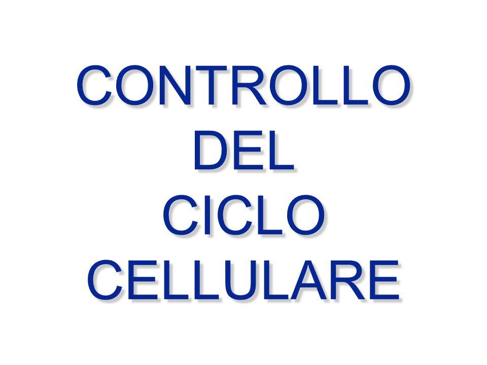 M G1 S G2 G0 Ciclina A, B Cdc2 Cdk2 Ciclina E Cdk 4,6 Ciclina D punto di restrizione