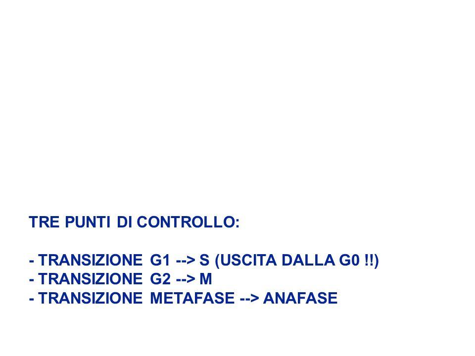 TRE PUNTI DI CONTROLLO: - TRANSIZIONE G1 --> S (USCITA DALLA G0 !!) - TRANSIZIONE G2 --> M - TRANSIZIONE METAFASE --> ANAFASE