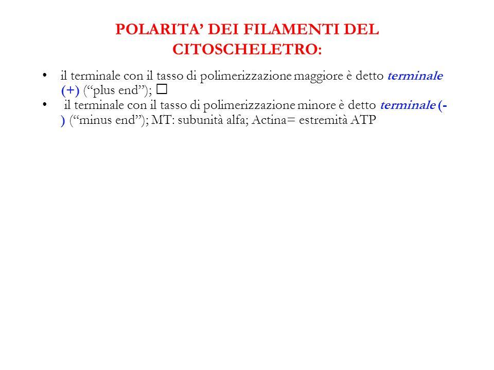 POLARITA DEI FILAMENTI DEL CITOSCHELETRO: il terminale con il tasso di polimerizzazione maggiore è detto terminale (+) (plus end); il terminale con il