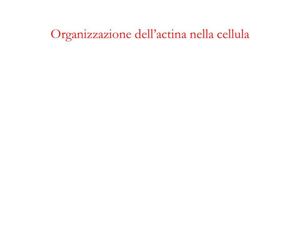 Organizzazione dellactina nella cellula