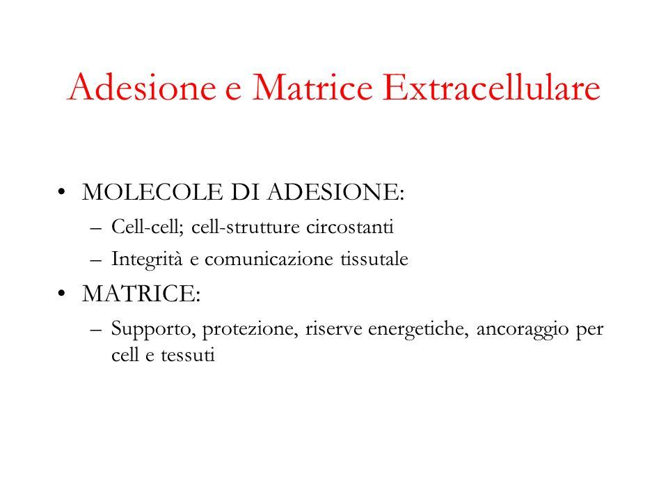 Adesione e Matrice Extracellulare MOLECOLE DI ADESIONE: –Cell-cell; cell-strutture circostanti –Integrità e comunicazione tissutale MATRICE: –Supporto