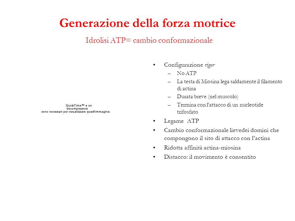 Generazione della forza motrice Idrolisi ATP= cambio conformazionale Configurazione rigor –No ATP –La testa di Miosina lega saldamente il filamento di