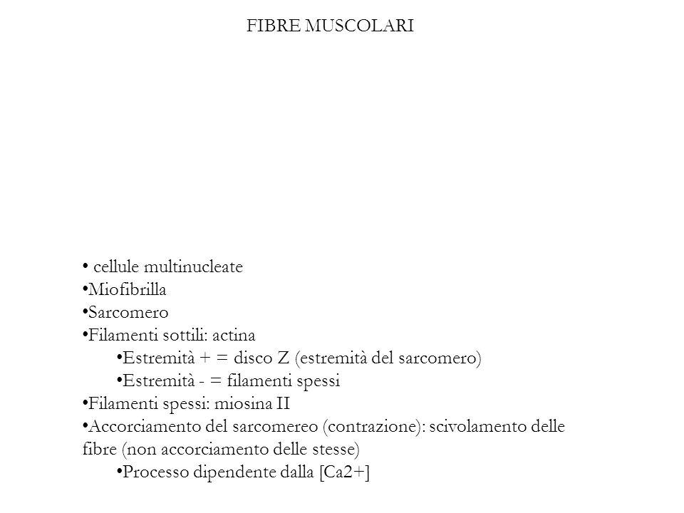 FIBRE MUSCOLARI cellule multinucleate Miofibrilla Sarcomero Filamenti sottili: actina Estremità + = disco Z (estremità del sarcomero) Estremità - = fi