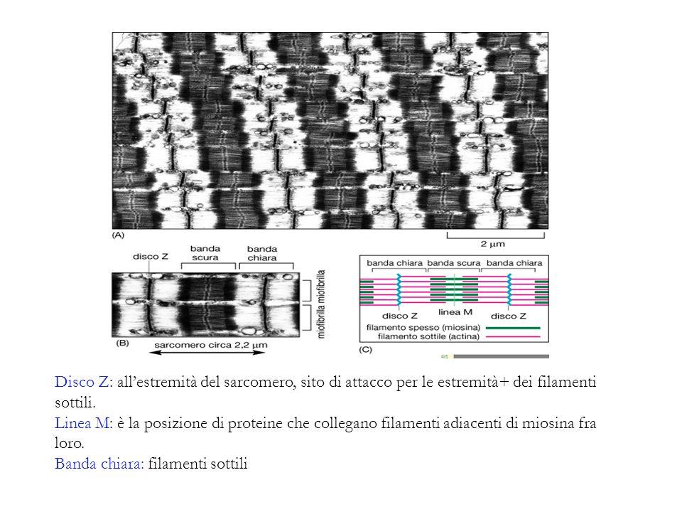 Disco Z: allestremità del sarcomero, sito di attacco per le estremità+ dei filamenti sottili. Linea M: è la posizione di proteine che collegano filame