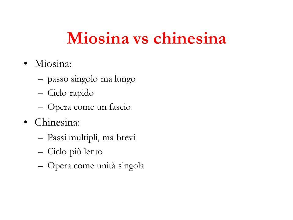 Miosina vs chinesina Miosina: –passo singolo ma lungo –Ciclo rapido –Opera come un fascio Chinesina: –Passi multipli, ma brevi –Ciclo più lento –Opera