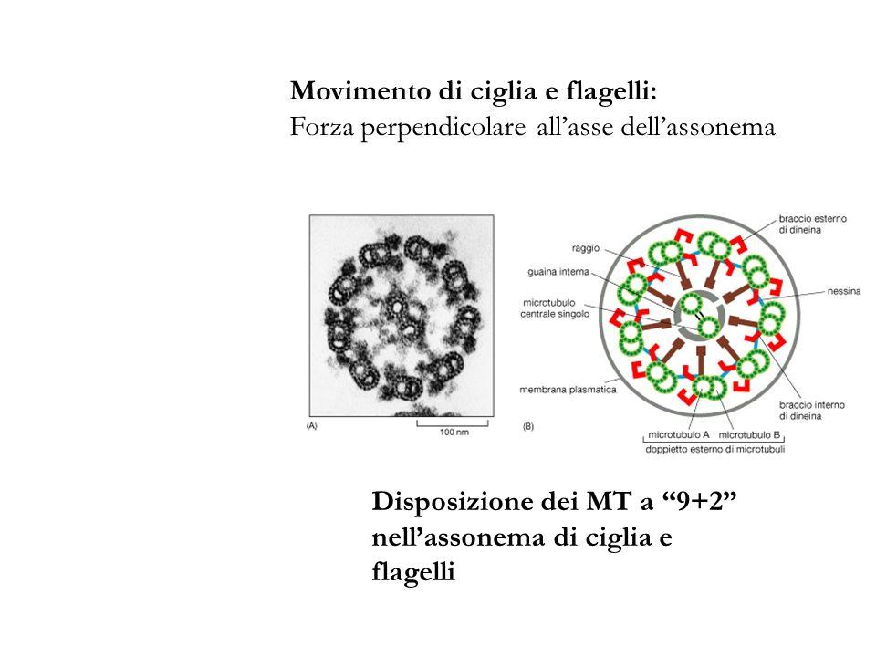 Disposizione dei MT a 9+2 nellassonema di ciglia e flagelli Movimento di ciglia e flagelli: Forza perpendicolare allasse dellassonema