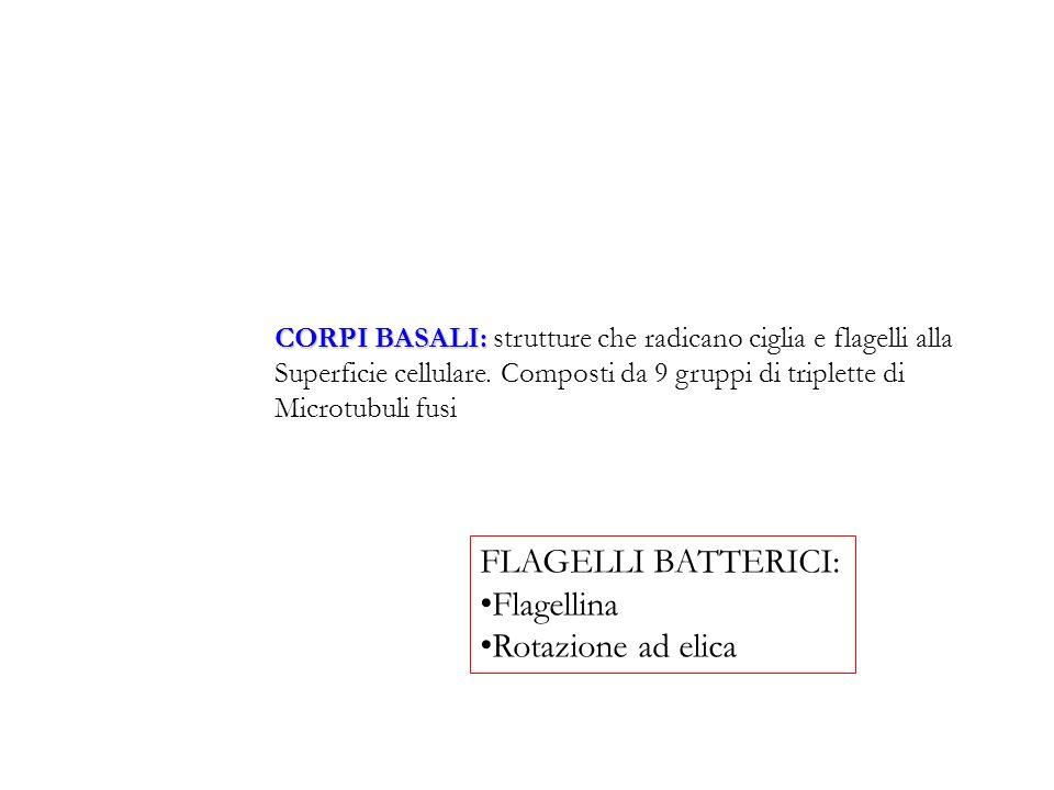 CORPI BASALI: CORPI BASALI: strutture che radicano ciglia e flagelli alla Superficie cellulare. Composti da 9 gruppi di triplette di Microtubuli fusi