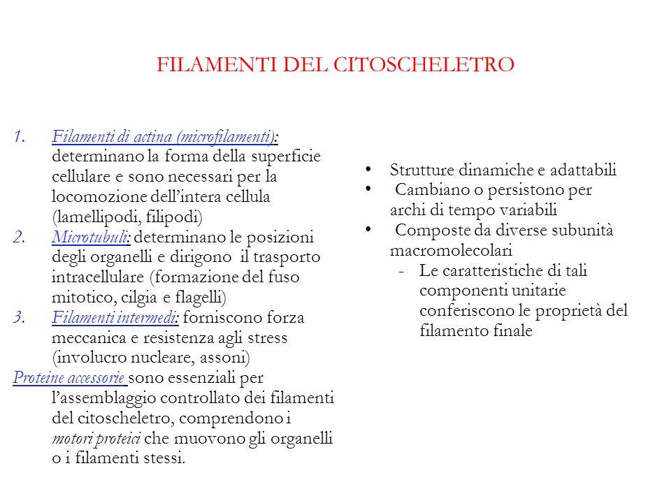 FILAMENTI DEL CITOSCHELETRO 1.Filamenti di actina (microfilamenti): determinano la forma della superficie cellulare e sono necessari per la locomozion