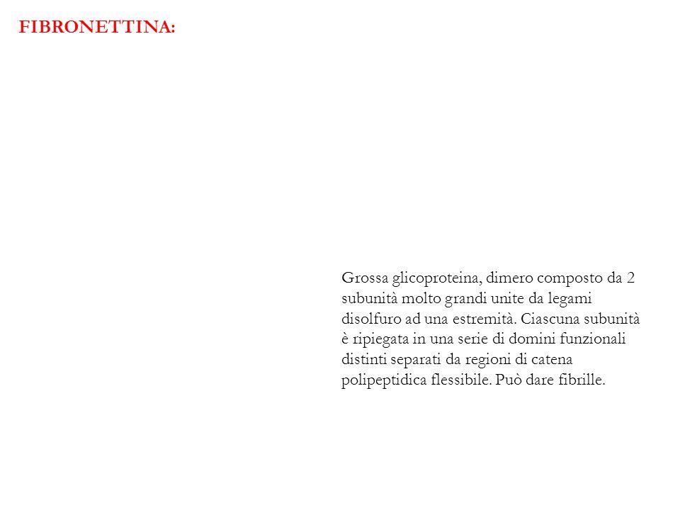 FIBRONETTINA: Grossa glicoproteina, dimero composto da 2 subunità molto grandi unite da legami disolfuro ad una estremità. Ciascuna subunità è ripiega