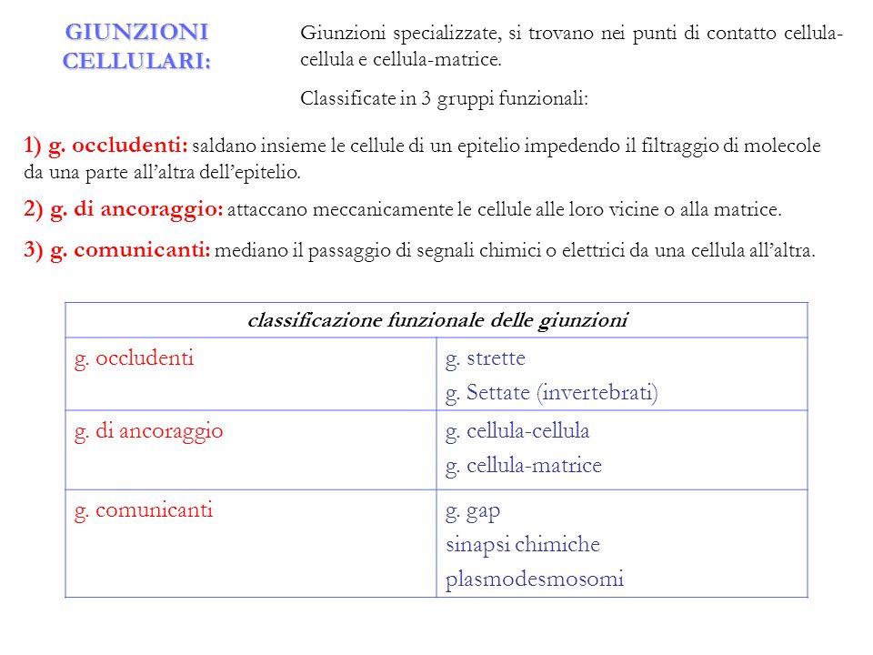 GIUNZIONI CELLULARI: Giunzioni specializzate, si trovano nei punti di contatto cellula- cellula e cellula-matrice. Classificate in 3 gruppi funzionali