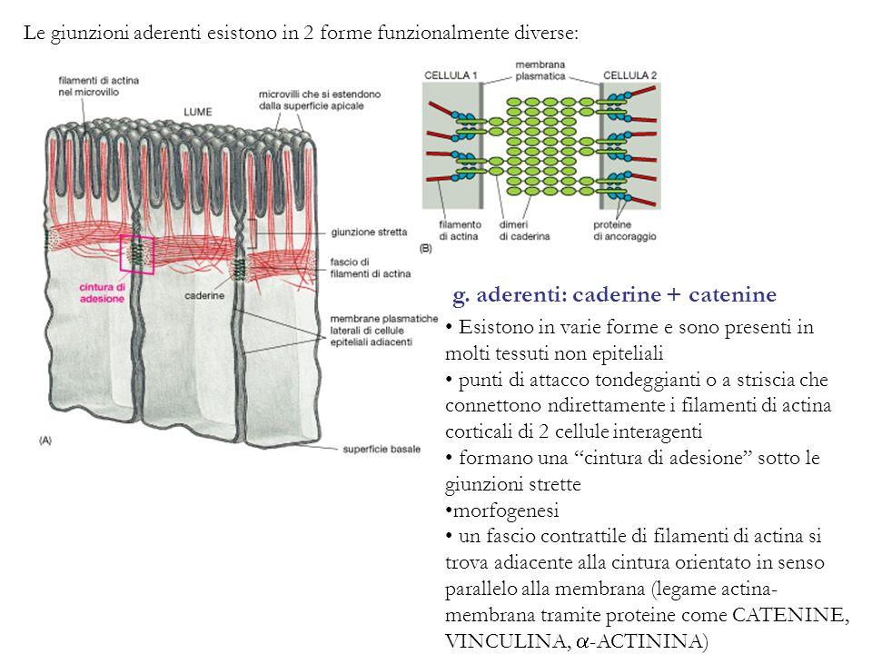 Le giunzioni aderenti esistono in 2 forme funzionalmente diverse: g. aderenti: caderine + catenine Esistono in varie forme e sono presenti in molti te