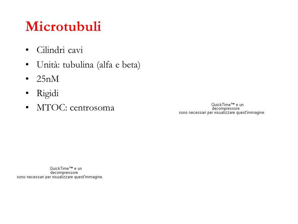 Microtubuli Cilindri cavi Unità: tubulina (alfa e beta) 25nM Rigidi MTOC: centrosoma