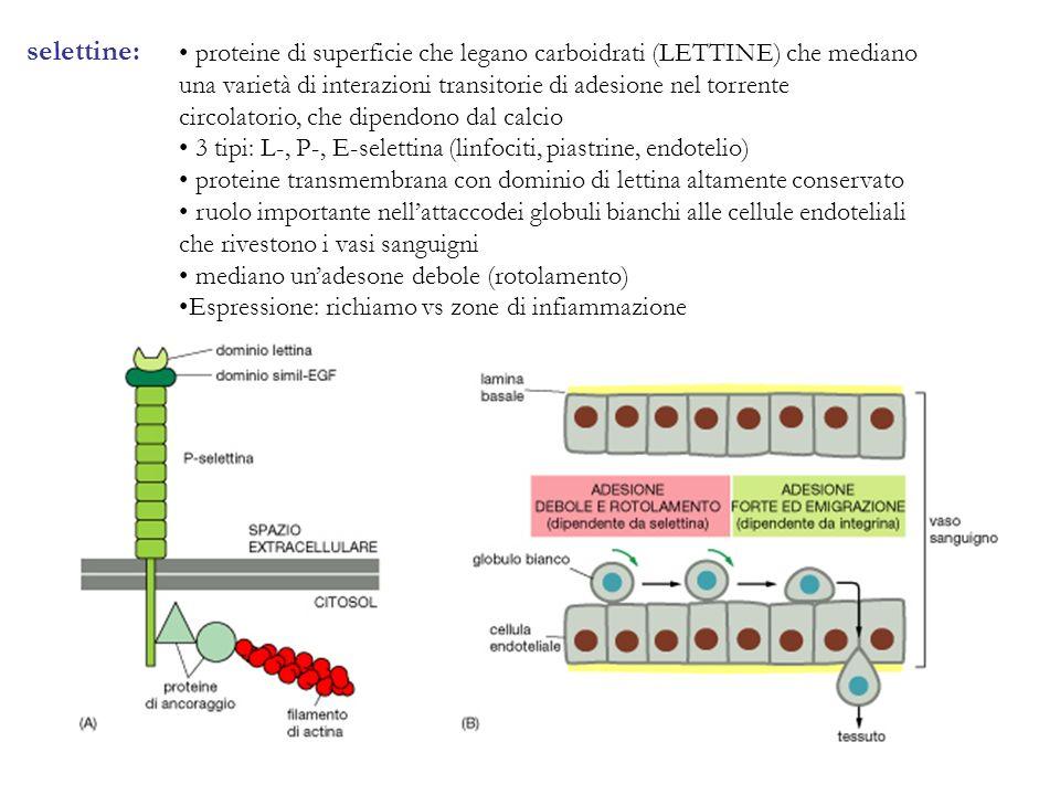 selettine: proteine di superficie che legano carboidrati (LETTINE) che mediano una varietà di interazioni transitorie di adesione nel torrente circola