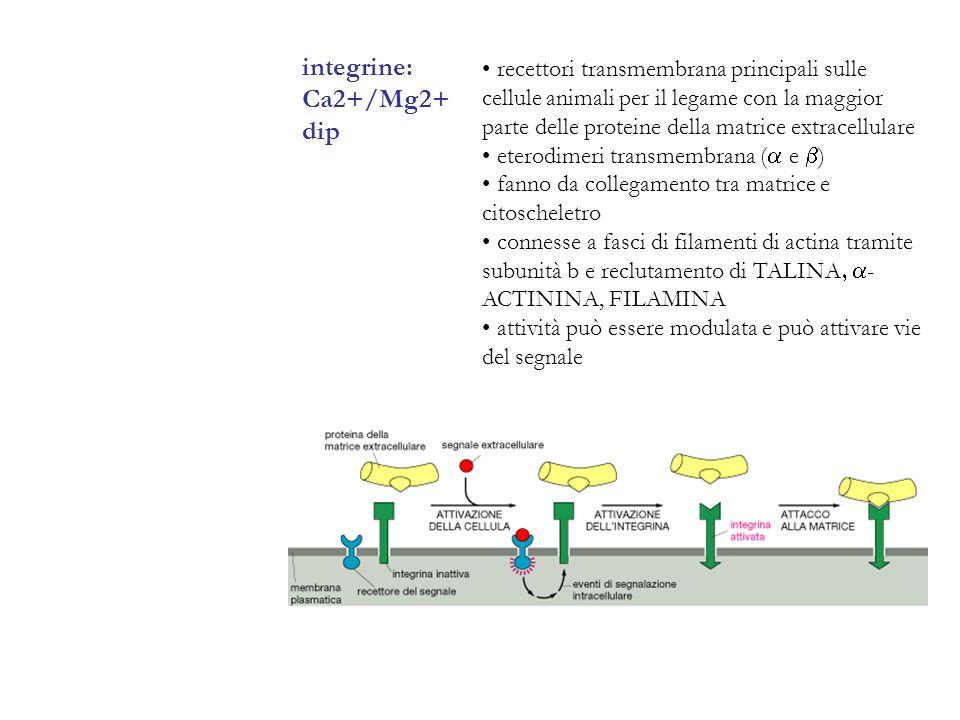 integrine: Ca2+/Mg2+ dip recettori transmembrana principali sulle cellule animali per il legame con la maggior parte delle proteine della matrice extr