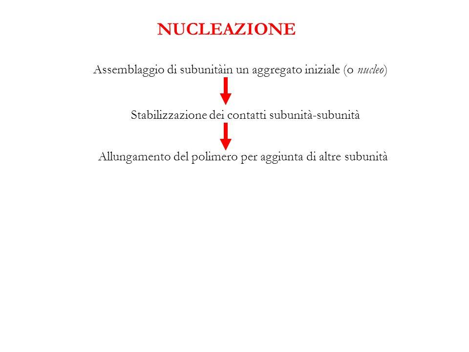 Assemblaggio di subunitàin un aggregato iniziale (o nucleo) Stabilizzazione dei contatti subunità-subunità Allungamento del polimero per aggiunta di a