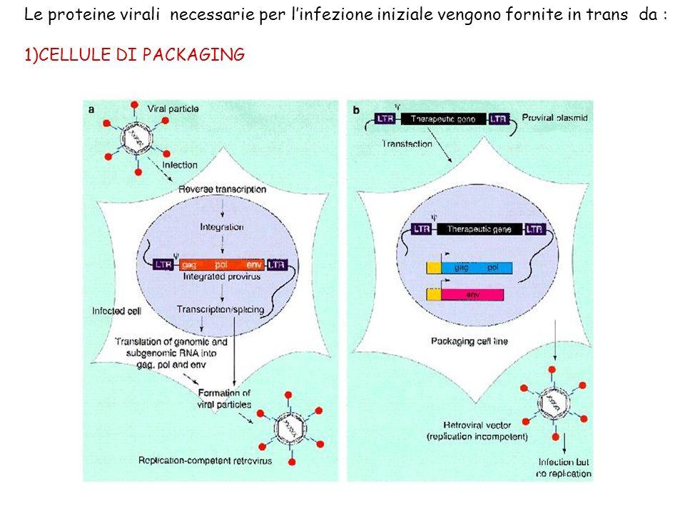 Le proteine virali necessarie per linfezione iniziale vengono fornite in trans da : 1)CELLULE DI PACKAGING