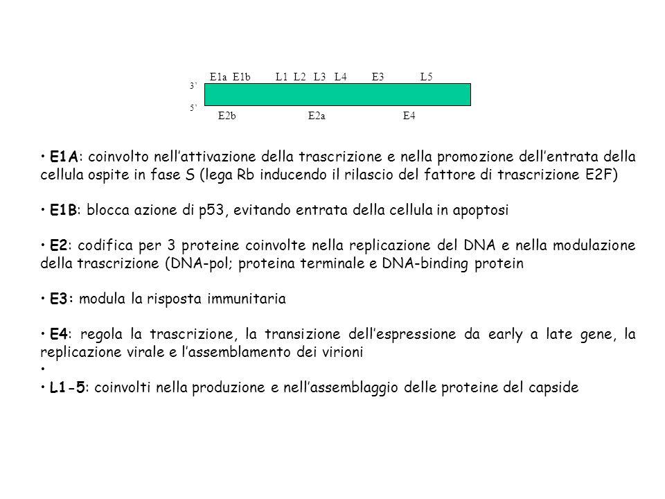 E1A: coinvolto nellattivazione della trascrizione e nella promozione dellentrata della cellula ospite in fase S (lega Rb inducendo il rilascio del fat