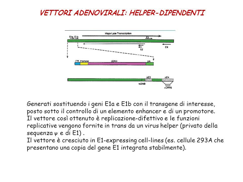VETTORI ADENOVIRALI: HELPER-DIPENDENTI Generati sostituendo i geni E1a e E1b con il transgene di interesse, posto sotto il controllo di un elemento en