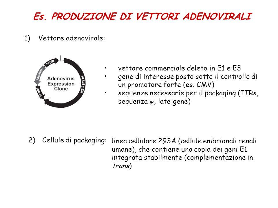 Es. PRODUZIONE DI VETTORI ADENOVIRALI 1)Vettore adenovirale: vettore commerciale deleto in E1 e E3 gene di interesse posto sotto il controllo di un pr