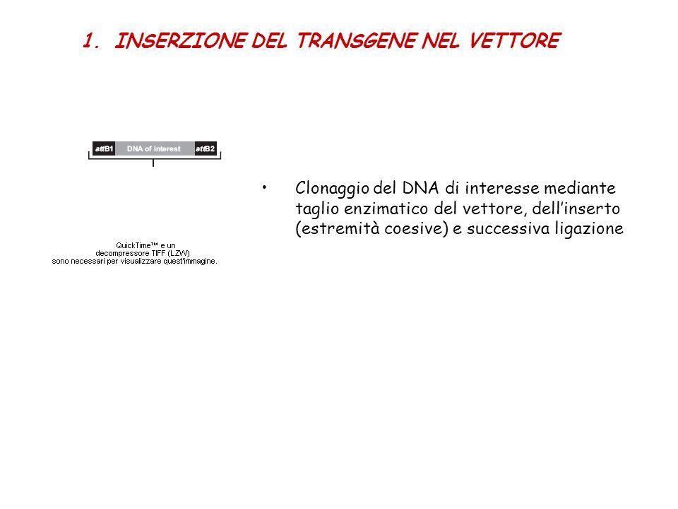 1.INSERZIONE DEL TRANSGENE NEL VETTORE Clonaggio del DNA di interesse mediante taglio enzimatico del vettore, dellinserto (estremità coesive) e succes