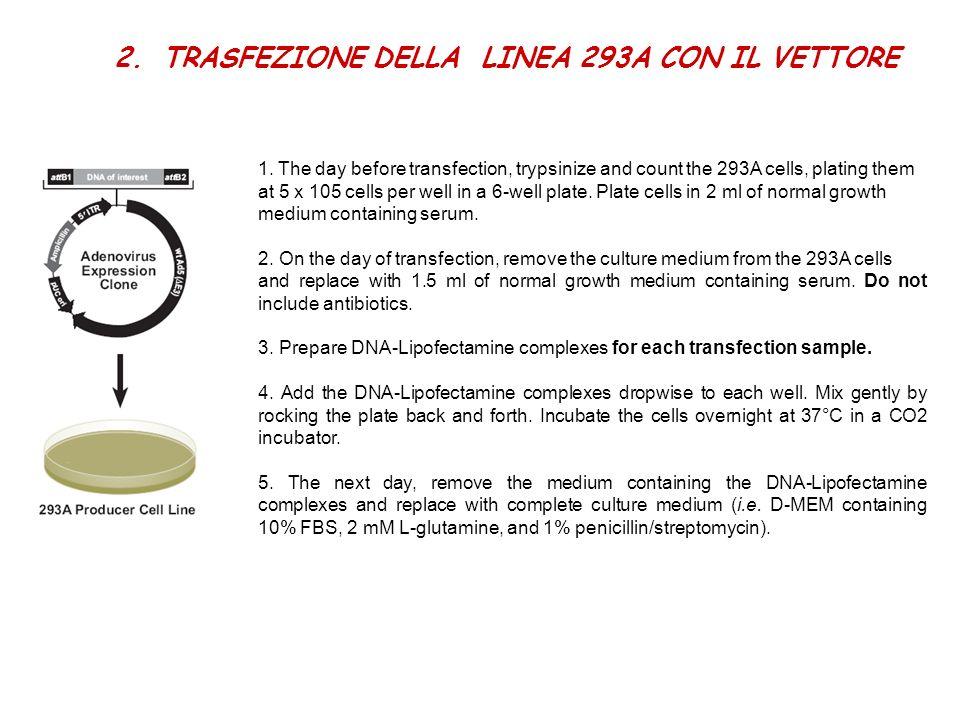 2.TRASFEZIONE DELLA LINEA 293A CON IL VETTORE 1. The day before transfection, trypsinize and count the 293A cells, plating them at 5 x 105 cells per w