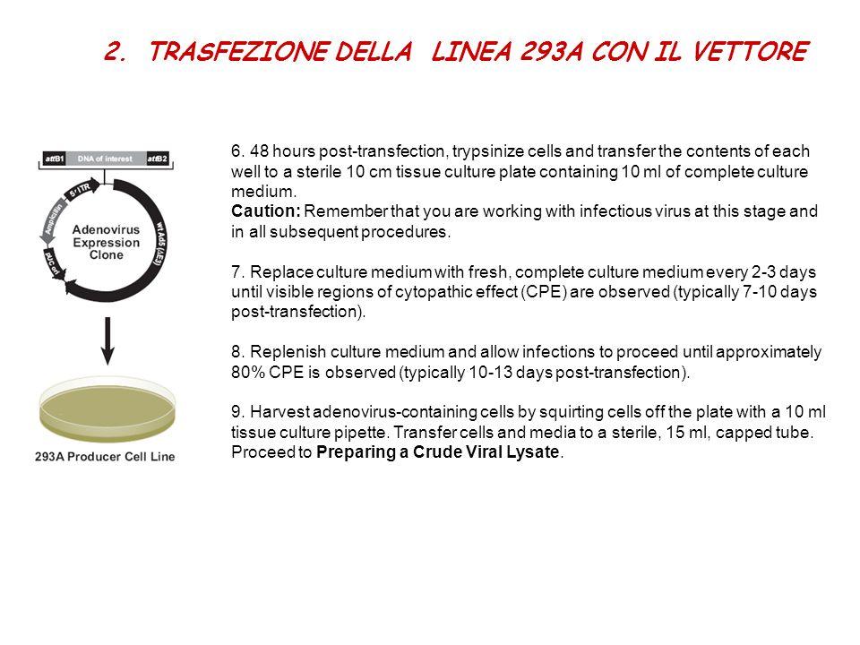 2.TRASFEZIONE DELLA LINEA 293A CON IL VETTORE 6. 48 hours post-transfection, trypsinize cells and transfer the contents of each well to a sterile 10 c