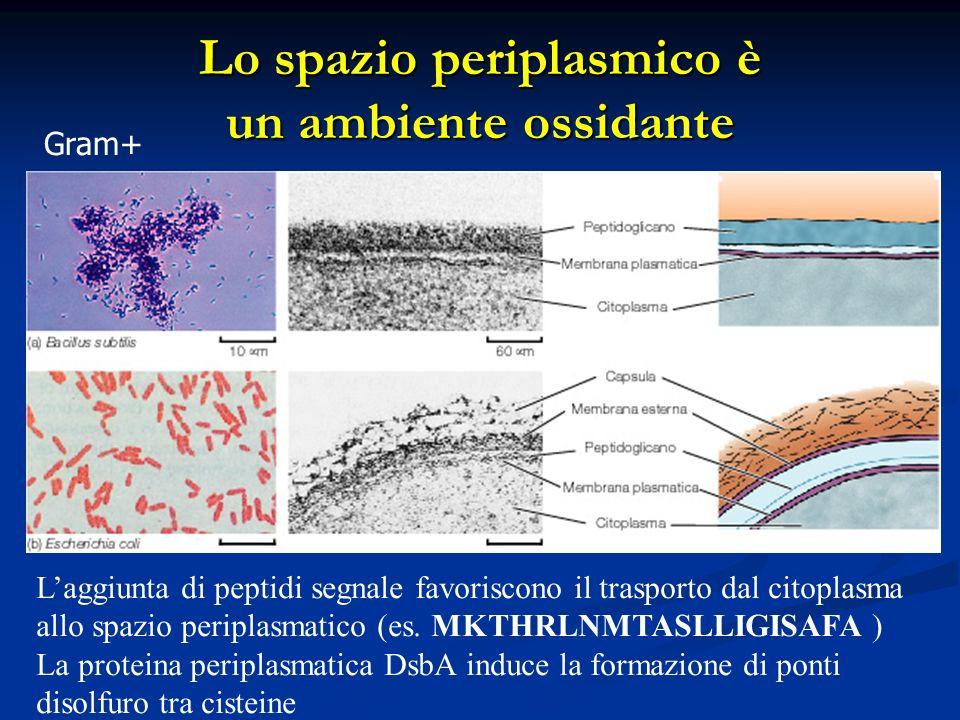 Gram+ Laggiunta di peptidi segnale favoriscono il trasporto dal citoplasma allo spazio periplasmatico (es. MKTHRLNMTASLLIGISAFA ) La proteina periplas