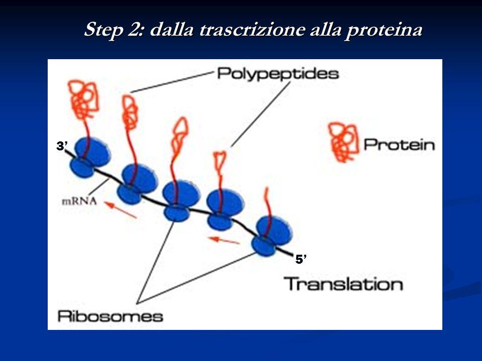 Step 2: dalla trascrizione alla proteina 5 3