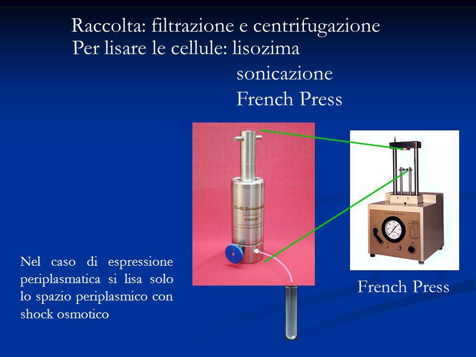 Raccolta: filtrazione e centrifugazione Per lisare le cellule: lisozima sonicazione French Press French Press Nel caso di espressione periplasmatica s