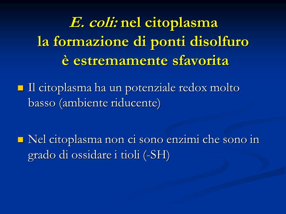E. coli: nel citoplasma la formazione di ponti disolfuro è estremamente sfavorita Il citoplasma ha un potenziale redox molto basso (ambiente riducente