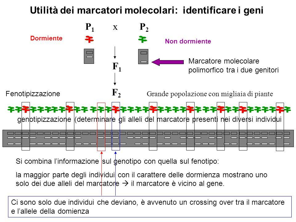 F2F2 P2P2 F1F1 P1P1 x Grande popolazione con migliaia di piante Non dormiente Dormiente Utilità dei marcatori molecolari: identificare i geni genotipi