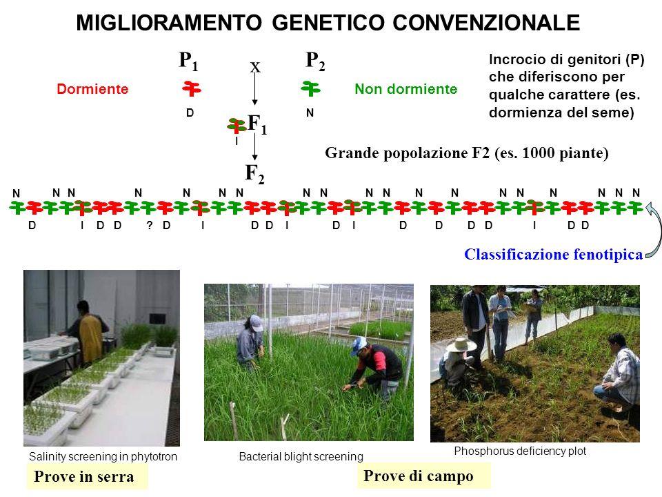 F2F2 P2P2 F1F1 P1P1 x Grande popolazione F2 (es. 1000 piante) Classificazione fenotipica Prove di campo Prove in serra MIGLIORAMENTO GENETICO CONVENZI