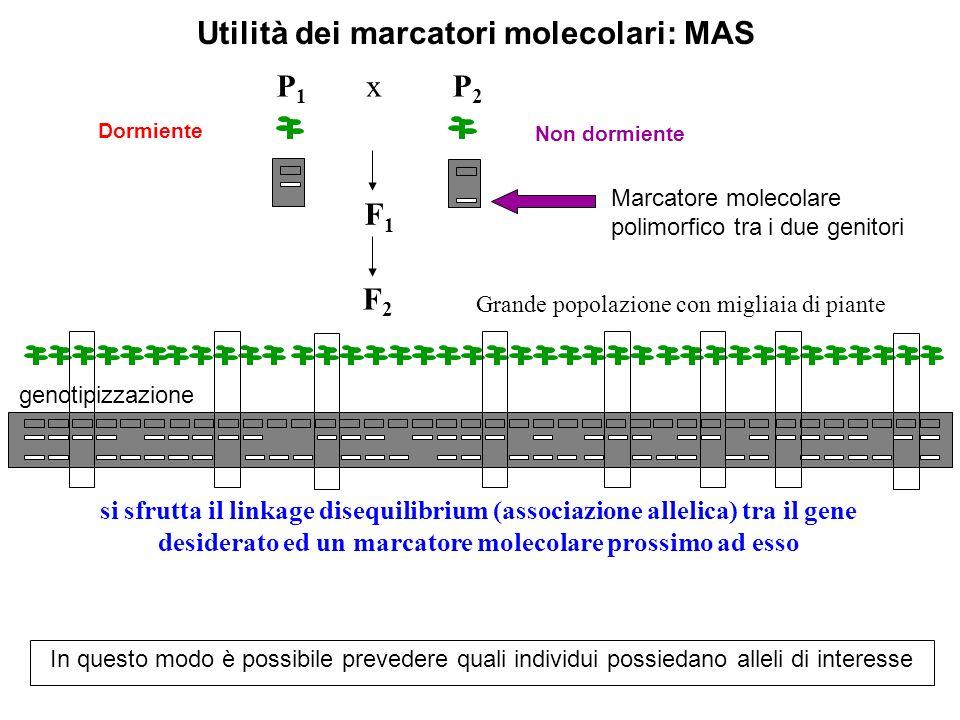 F2F2 P2P2 F1F1 P1P1 x Grande popolazione con migliaia di piante Non dormiente Dormiente si sfrutta il linkage disequilibrium (associazione allelica) t