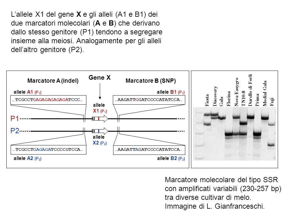 …TCGCCTGAGAGAGAGAGATCCC… …TCGCCTGAGAGATCCCCGTCCA… …AAGATTGGATCCCCATATCCA… …AAGATTAGATCCCCATATCCA… Marcatore A (indel)Marcatore B (SNP) Gene X P1 P2 al