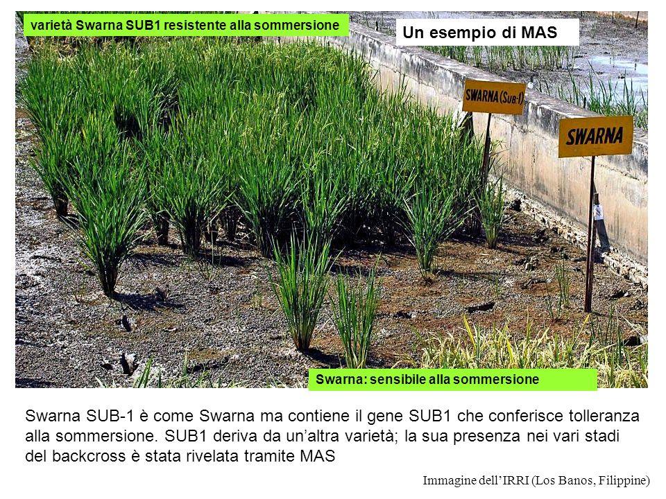 Immagine dellIRRI (Los Banos, Filippine) Swarna: sensibile alla sommersione varietà Swarna SUB1 resistente alla sommersione Swarna SUB-1 è come Swarna