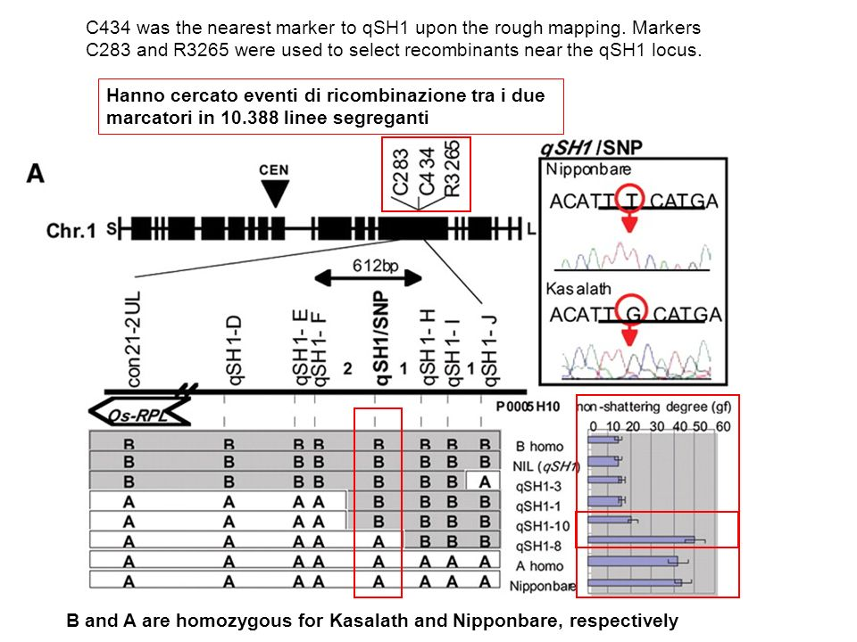 C434 was the nearest marker to qSH1 upon the rough mapping. Markers C283 and R3265 were used to select recombinants near the qSH1 locus. B and A are h